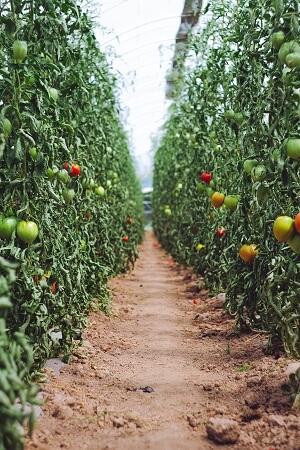 champ de tomate bio
